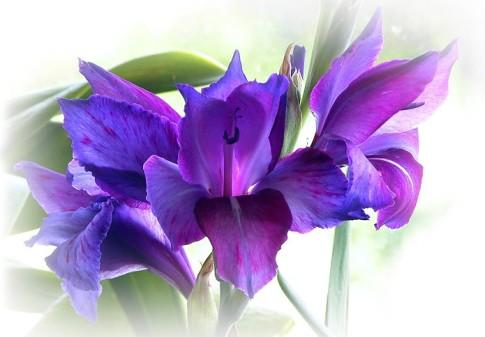 purpleiris-695x484.jpg