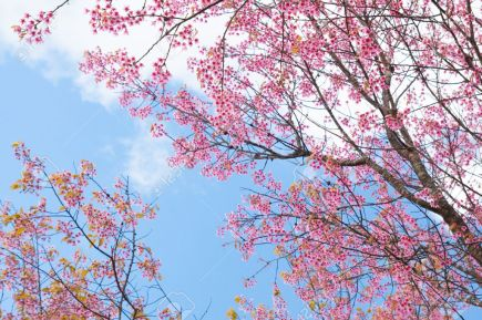 28579083-la-hermosa-flor-de-sakura-en-la-temporada-de-invierno-tailandia-foto-de-archivo