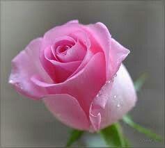 379a5ee6a4bf8729b9cf76837c02a50e--pictures-of-flowers-pink-roses