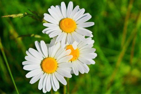 tipos-de-flores-margaritas