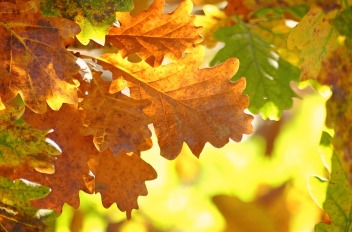 oak-leaves-1777410_960_720