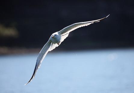 Acantilados-de-Moher-irlanda-aves-fauna--a