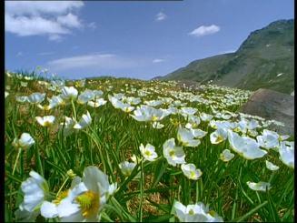 298618103-ranoculo-de-los-pirineos-campo-de-flores-primavera-estacion-cesped