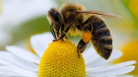 160411_vx7pi_lc-abeille-fleur_sn635